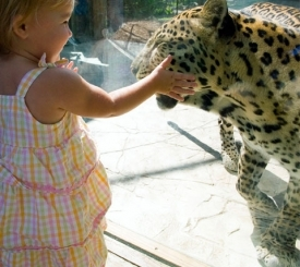 A young guest safely gets within an inch of an African leopard.