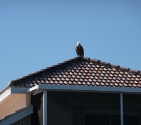 our resident bald eagle!