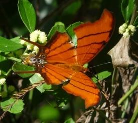 Ruddy Daggerwing Butterfly