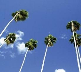 Naples palms