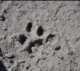 Florida panther track