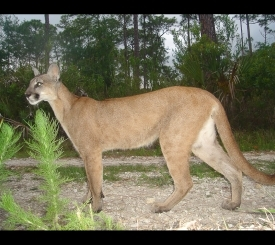 Young Florida panther captured by a field camera.  Photo courtesy USFWS.