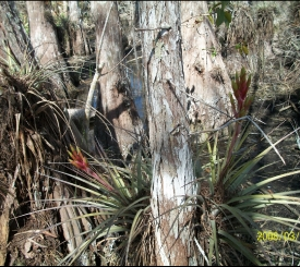 C&G's Big Cypress Swamp Buggy Tours