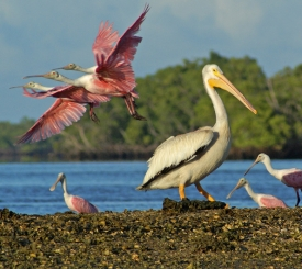 Roseate SpoonBills and White Pelicans