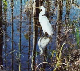 Collier County Audubon Society