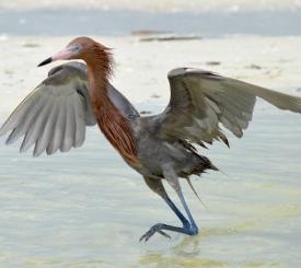 A Reddish Egret dances for its dinner along the shoreline.