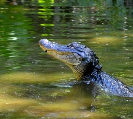 A gator raises on its hind legs to pounce on an unsuspecting fish.