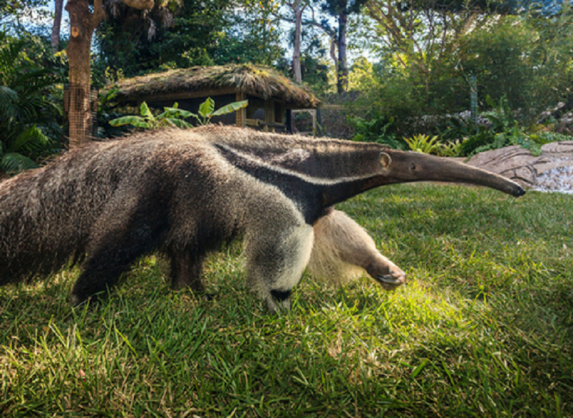 Feed a Giant Anteater at Naples Zoo